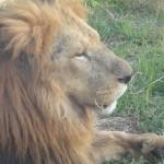 百獣の王ライオン様