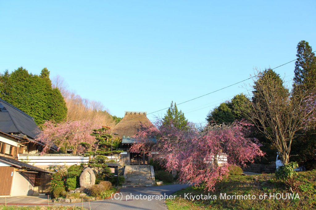 奈良の桜風景
