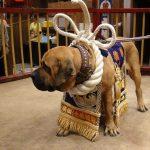 闘犬横綱のワンちゃんです。