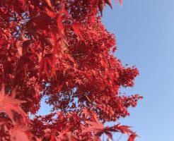 晴天の青空と真っ赤に染まるもみじ