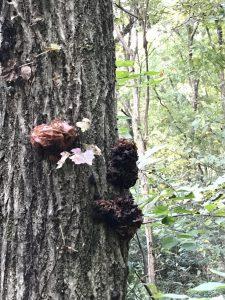 林の中で見つけたきくらげ