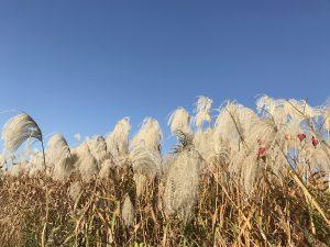 秋の青空の下で揺れるすすきのアップ