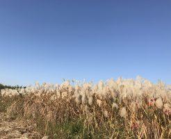 雲一つない秋の青空に映えるたくさんのすすき