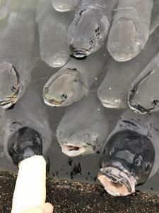 先ほどの食いしん坊鯉が麩の屑をつけた口をパクパクさせています