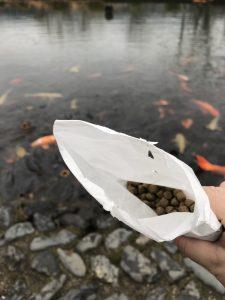 別の池に袋に入った餌を持っていきました。錦鯉がいました。