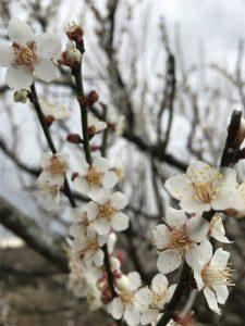 寒空ですがかわいらしい梅が咲き誇っています