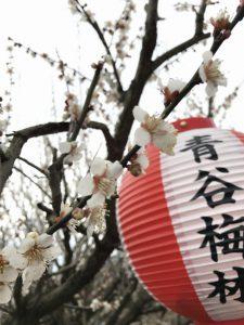 青谷梅林梅まつりの提灯と梅の花