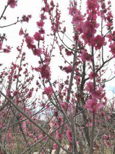 満開の濃いピンクの花