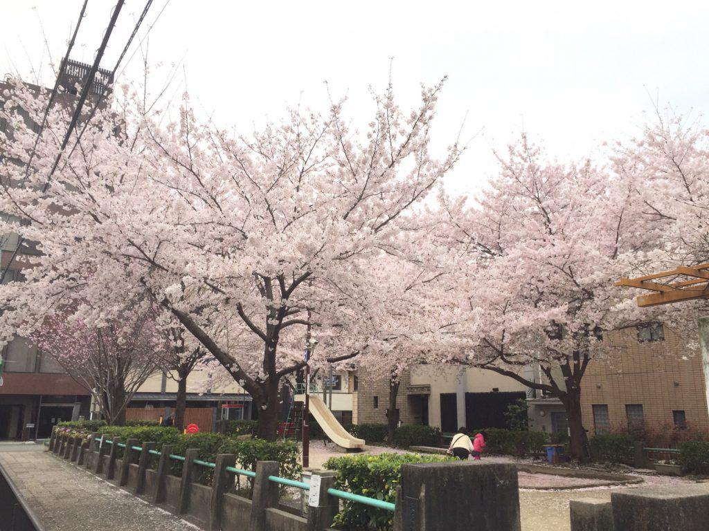 京都市下京区正面公園の桜