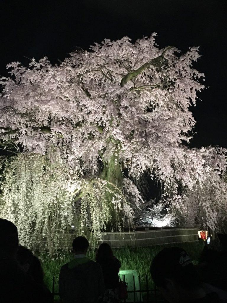 京都市円山公園の夜桜