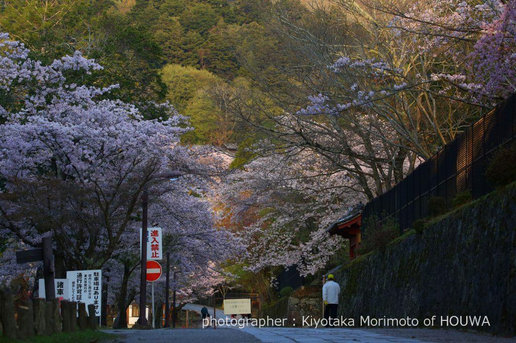 東大寺大仏殿裏の桜