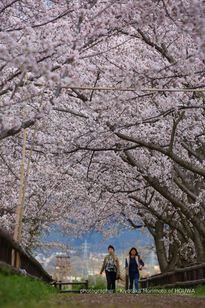 磯城郡田原本町 唐古遺跡の桜