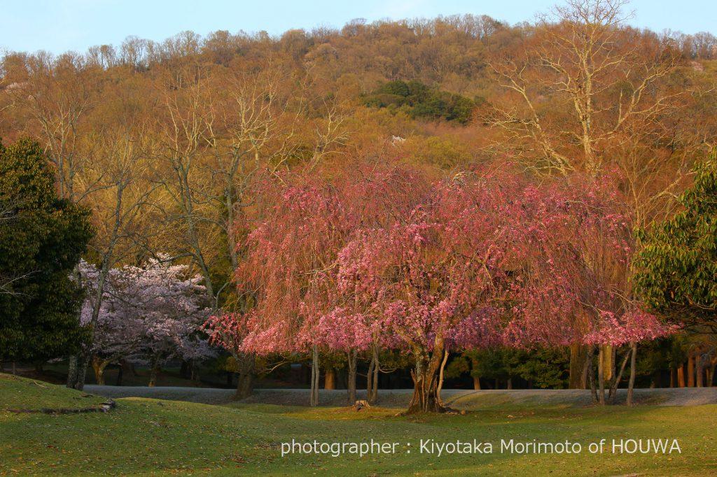 奈良公園のおかっぱ桜