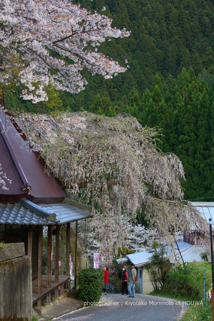 宇陀市 西光寺のしだれ桜